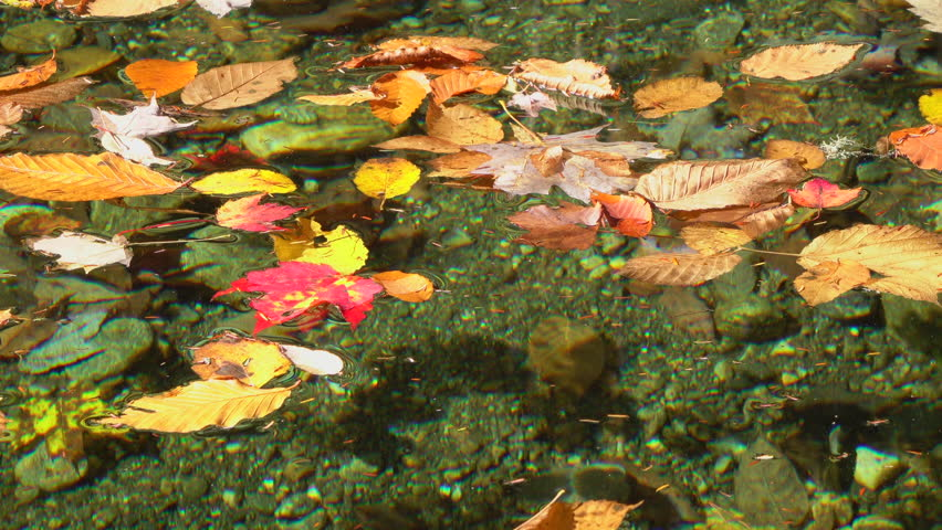 SLOW MOTION CLOSE UP: Bright autumn leaves floating along the quiet river in sunny forest on sunny day. Colorful fallen leaves laying on lazy river water surface in sunny autumn forest.