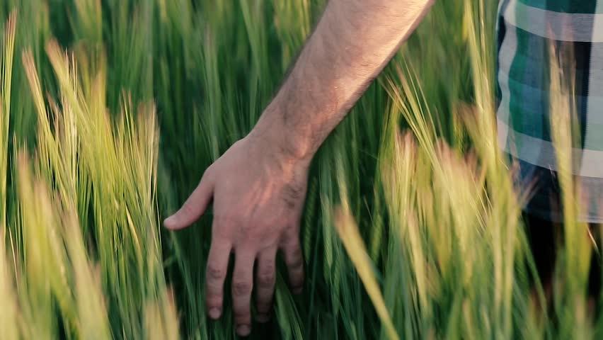 Hand in the field of barley | Shutterstock HD Video #30528673