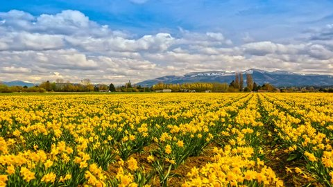 Skagit Daffodils fields  time lapse