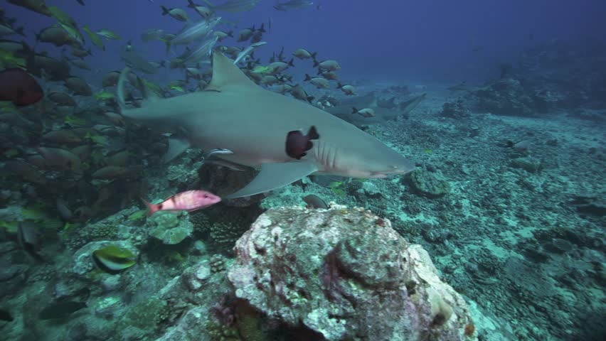 grey reef sharks on a coral reef in tahiti, french polynesia #30552613