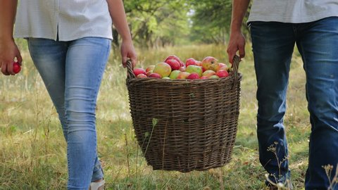 A man and a woman are carrying a full basket of apples in the apple orchard. Close-up. Harvesting apples in the apple orchard