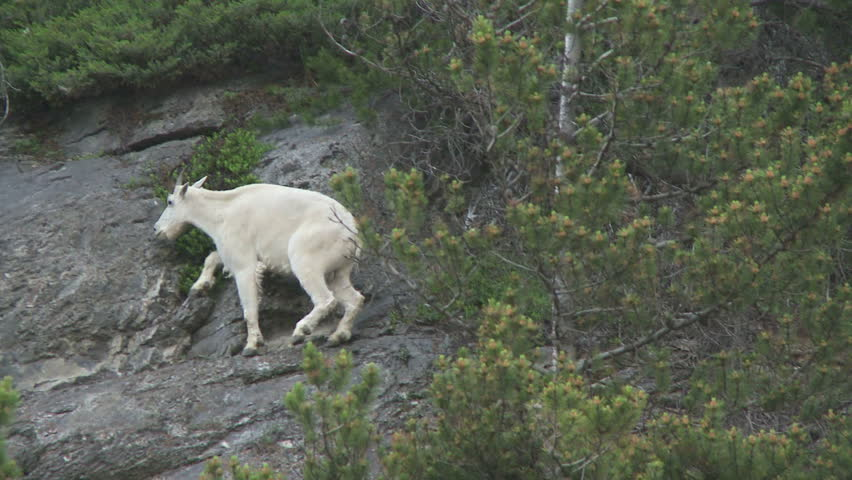 Rocky Mountain Goat walking on a cliff