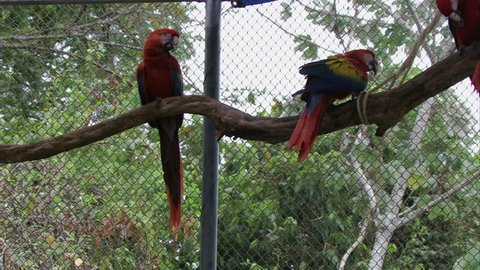 MS Scarlet Macaw (Ara macao) parrots perching on branch in zoo / Yucatan, Mexico