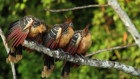 Wildlife of Tambopata National Reserve, Madre de Dios - Peru