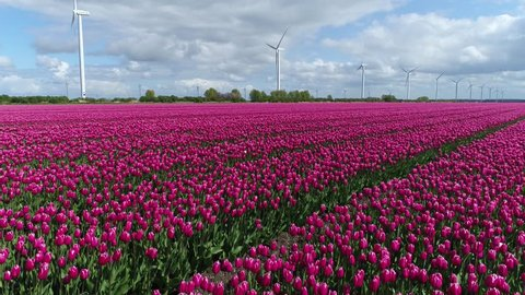 Low altitude aerial flight over red pink tulip field also showing wind turbines in background providing renewable energy also known as sustainable energy by wind overcast weather thick heavy clouds 4k