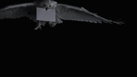 MS SLO MO Snowy Owl (Bubo scandiacus) flying with envelope