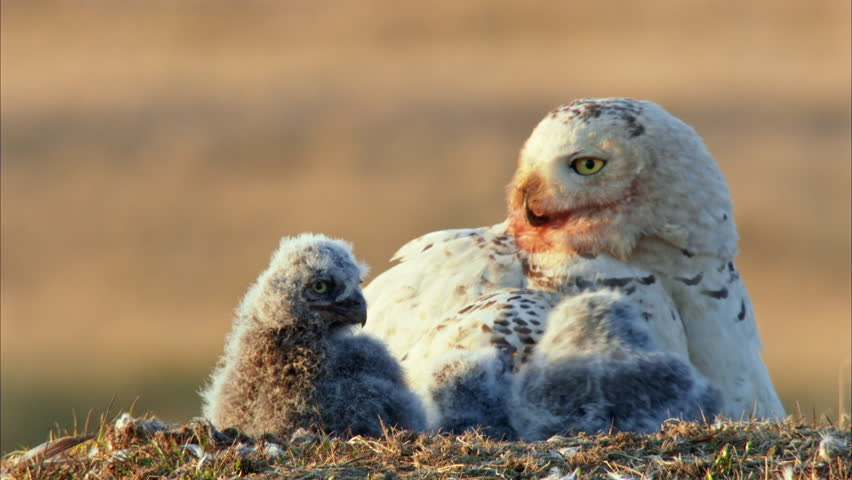 MS SELECTIVE FOCUS Snowy Owl (Bubo scandiacus) with owlets in nest
