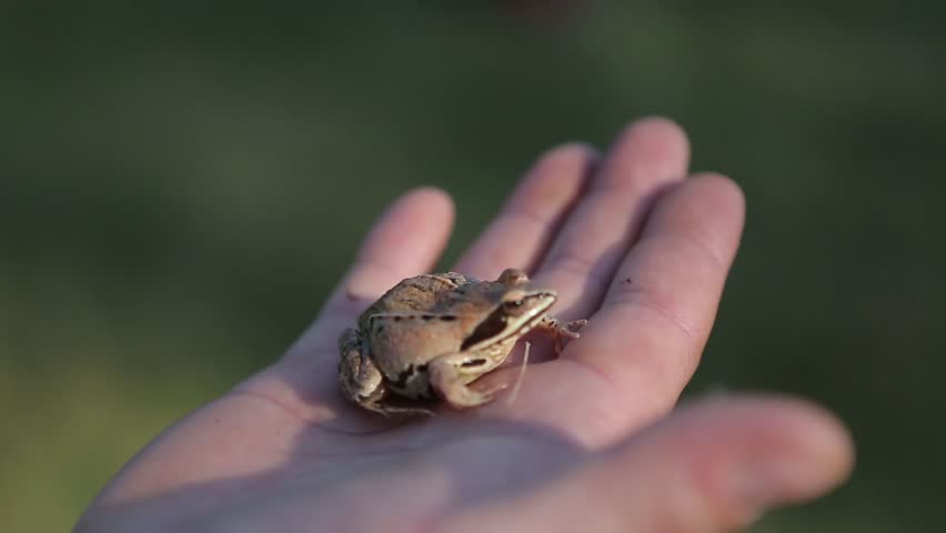 Small frog close up sitting on a man's hand. | Shutterstock HD Video #30702253