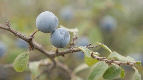 Tiny blue berries of Prunus spinosa 4K 2160p 30fps UltraHD footage - Fruit blackthorn sloe food background 3840X2160 UHD video