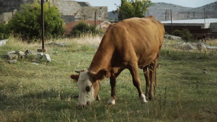 Grazing cow on a mountain meadow   Shutterstock HD Video #30762163