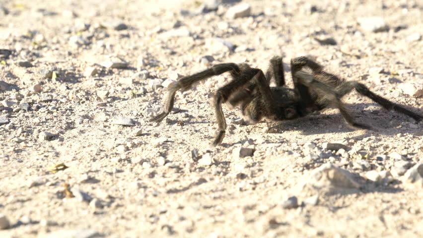 Tarantula in its habitat