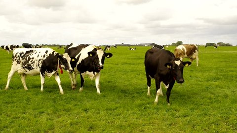 Curious cows,coming one by one to look at camera. Holstein Friesian cows in field.