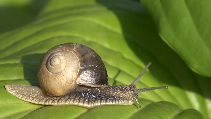 4K Closeup of snail escargot sliding on green leaf, spiral house shell, wild slug by day