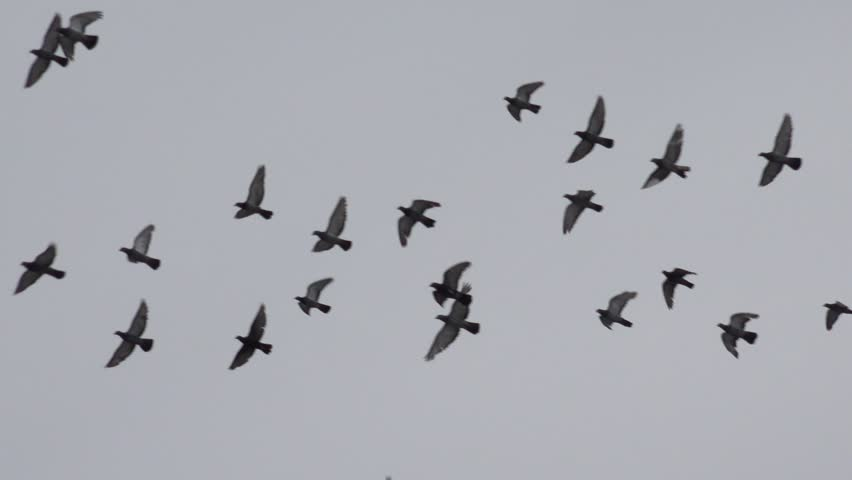 4K Pigeon bird flock fly on cloudy sky searching food, many wild crow flight in group