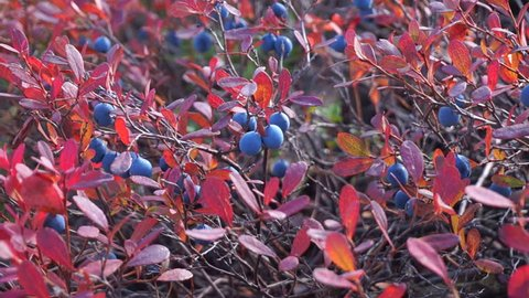 Ripened blueberry with red leaves in Siberian taiga.