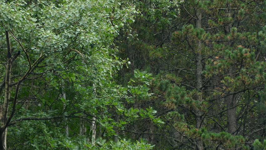 Raining in the forest. Copious rain scene with tree background.