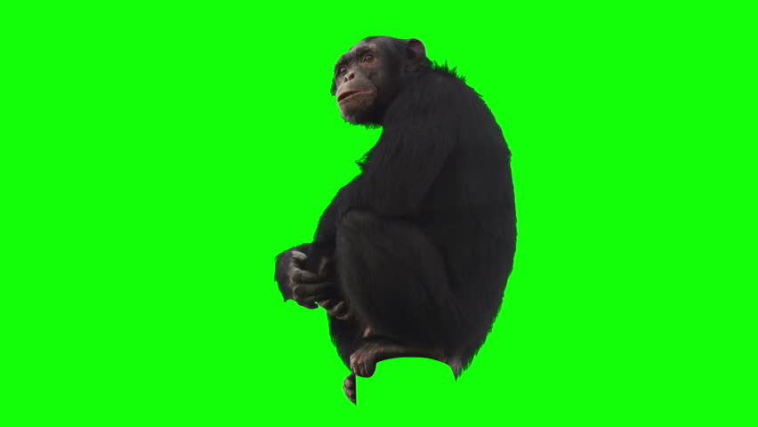 Monkey on green screen looking around. Alpha channel included. Shot with 4k red camera.
