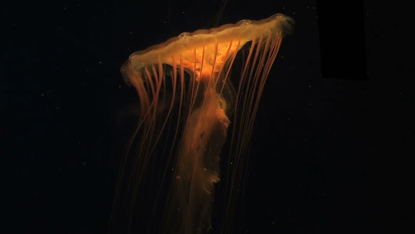 Jellyfish swimming in aquarium.
