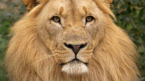 Southwest African lion's portrait
