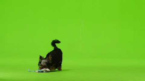 Dog is running after the toy is playing. Green screen. Slow motion