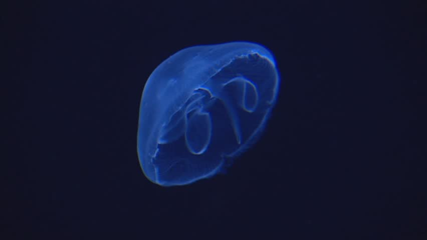 Aurelia aurita - moon jellyfish swimming sidewards