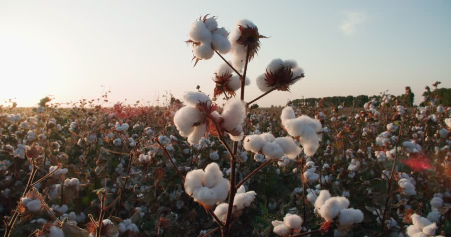 The highest quality cotton growing on the field Bush with lots of cotton bolls, ready for harvest | Shutterstock HD Video #31062493