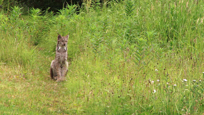 A wild Alaskan lynx patiently sitting at the edge of the forest meadow, watching and hoping for the chance to attack barnyard fowl.