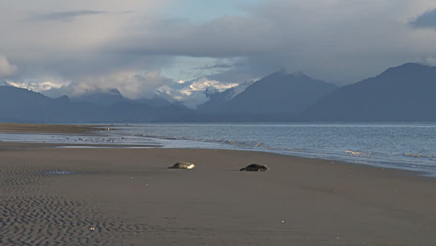 A pair of rescued seals hump along the beach in Homer, Alaska after being