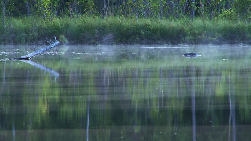Fish jump at bugs as a low, subtle mist wanders wraithlike over the smooth dark waters of an Alaskan forest lake in the evening.   Shutterstock HD Video #3115393