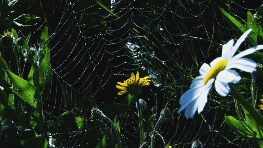 Dew drops clinging to a spiderweb over daisies and yellow wildflower blossoms in