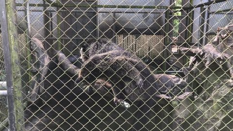 Binturong in the zoo. Binturong, Bearcat (Arctictis binturong).