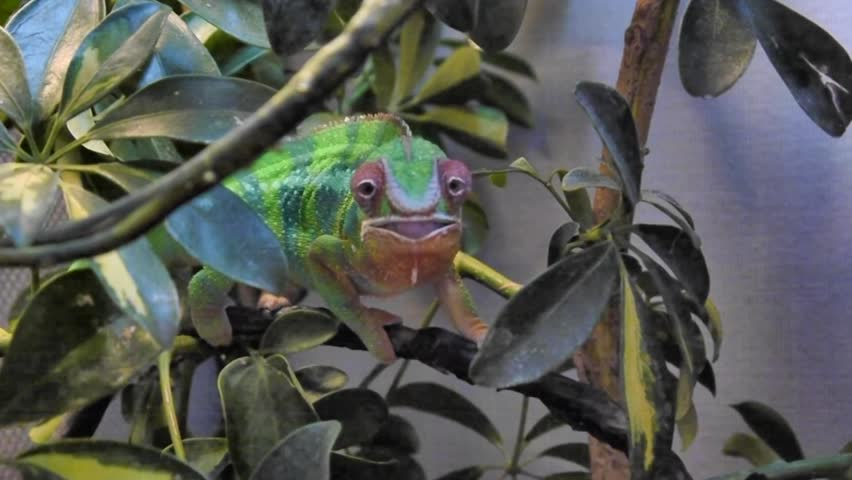Chameleon Shooting Tongue