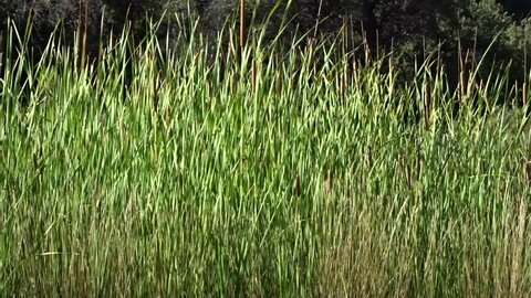 Marsh grasses and cattails blowing in the wind; includes the natural ambient sound of the wind; Tonto Natural Bridge State Park in Arizona
