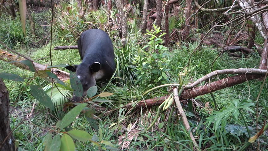 CIRCA 2010s - Central America - A tapir chews on vegetation in the forest. | Shutterstock HD Video #31372633