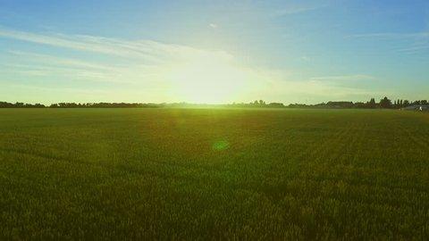 Wheat field landscape sunrise. Drone view grain growing on agricultural field on background blue sky. Green meadow summer landscape