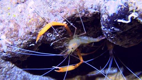 Juvenile Freshwater prawn in their habitat.