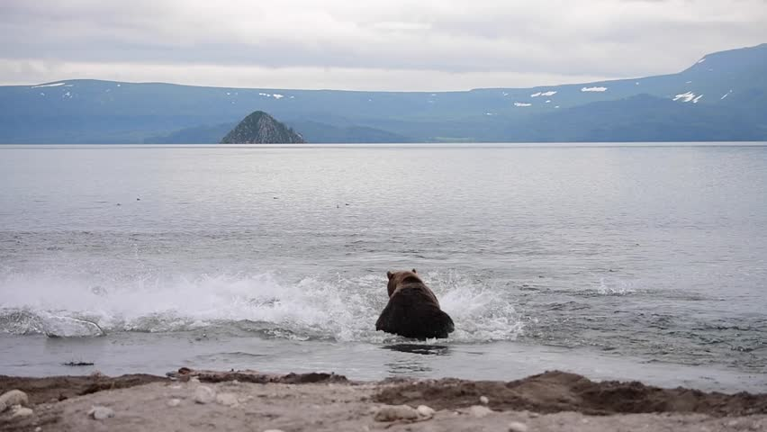 Kamchatka brown bears (Ursus arctos beringianus) catches fish on the Kuril lake