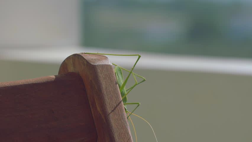 Big Green Bush Cricket, True Katydid, Examining The Wooden Surface Of A Terrace Chair.