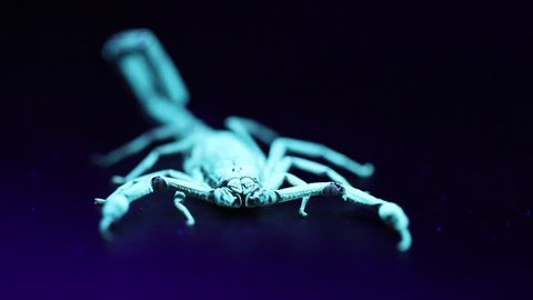 Displacement of escape of a scorpion, under ultraviolet light.
