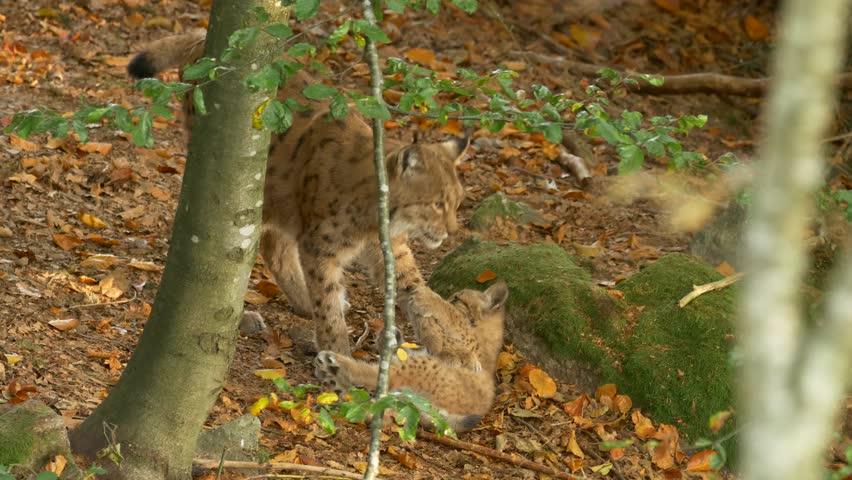 Eurasian lynx (Lynx lynx) cubs