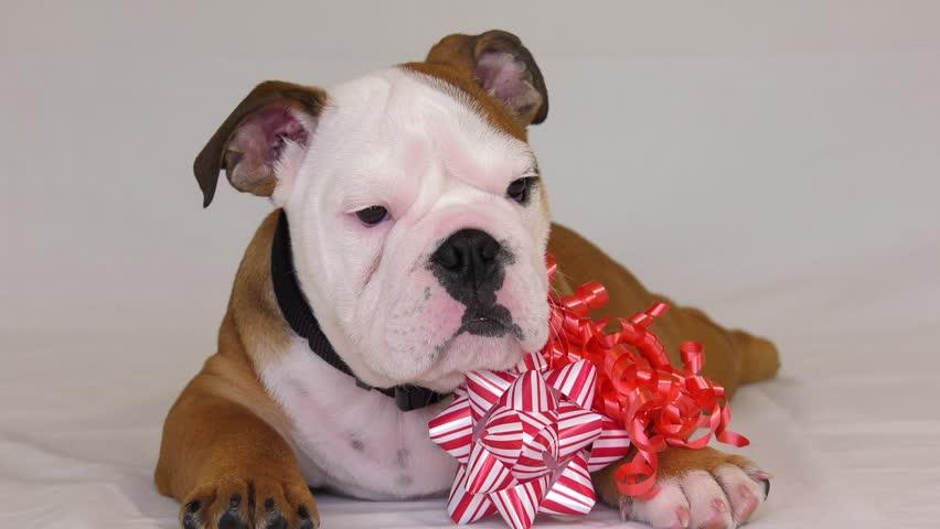 bulldog puppy flopping around tryin gto eat his gift bow