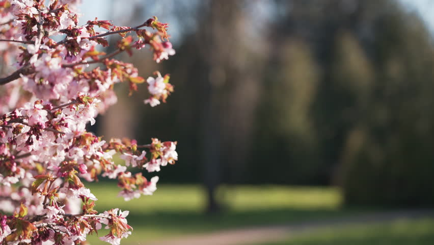 Beautiful sakura cherry tree blossom | Shutterstock HD Video #31538773
