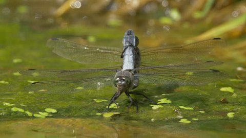Black-tailed skimmer (Orthetrum cancellatum) copulation