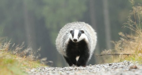 Running Badger in green forest, animal in nature habitat, Germany, central Europe. Wildlife scene from nature. Animal in wood. Cute black white grey mammal feeding blueberry, badger behaviour.