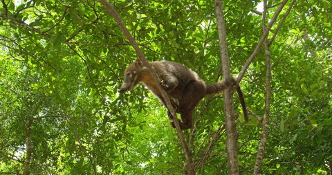 Nasua, coati, wild animal in search of food. Costa rica. RED cinema camera. The coati, genera Nasua and Nasuella, also known as the Coati-Mundi