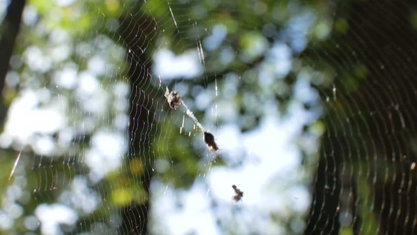 The spider is sitting on a cobweb. The web is poured into the sun. Stedikam shot is suitable for the background | Shutterstock HD Video #31769803