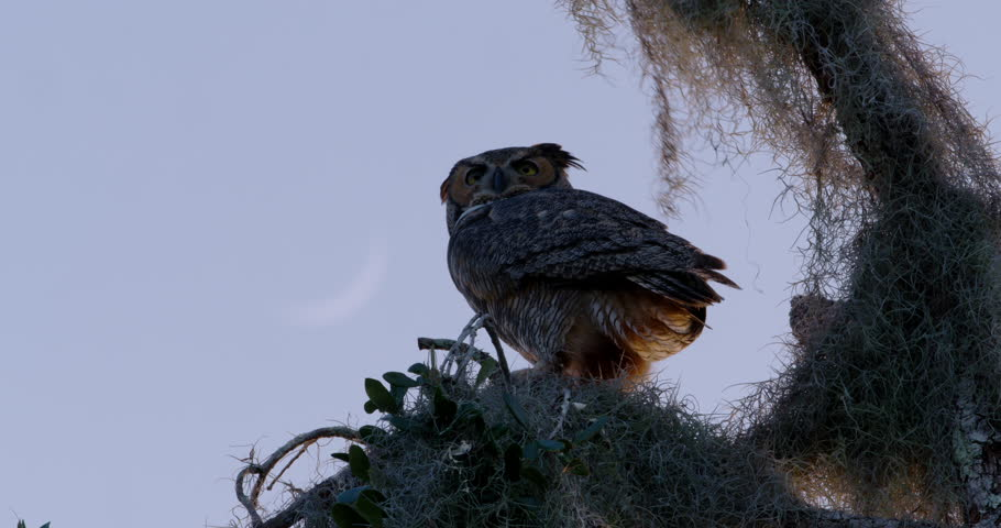 Great Horned Owl sitting in Florida tree with Spanish moss at sunset with nice blue sky and faint crescent moon.