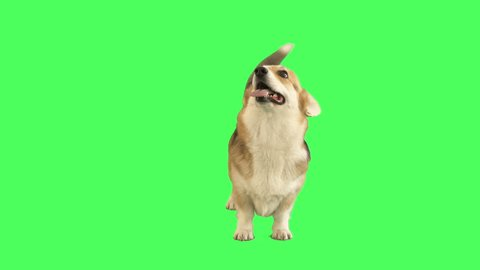 funny welsh corgi stands and looks on green screen