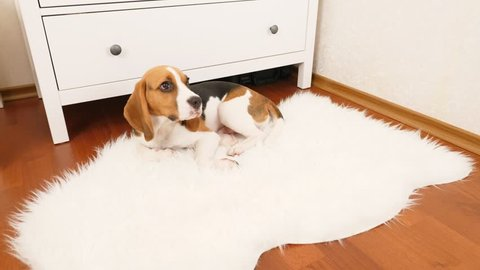Young beagle dog enjoy sleep on cozy white artificial sheepskin rug, suddenly wake up on loud sound or call and rise head, look around with question. Then doggy lie back, return to dreams.