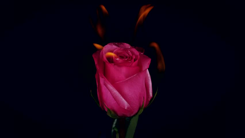 Burning blooming blossom Flowers Rose on Fire in love Valentine card Slow Motion